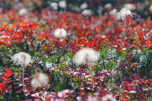 紅葉したチングルマの葉と綿毛の写真素材 [FYI04634690]