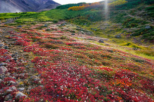 旭岳の紅葉したチングルマの写真素材 [FYI04634696]