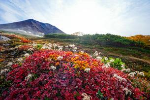 旭岳と紅葉したチングルマの写真素材 [FYI04634697]