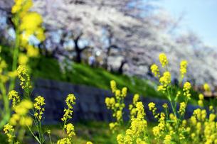 菜の花と桜の写真素材 [FYI04634726]