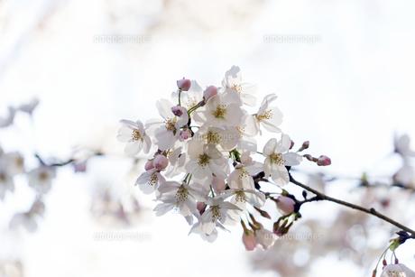 桜のアップの写真素材 [FYI04634727]