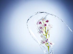 満開の花に水のスプラッシュの写真素材 [FYI04634731]