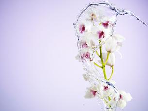 満開の花に水のスプラッシュの写真素材 [FYI04634733]
