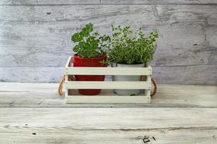 赤い植木鉢に植えたパセリとジョウロに植えたローズマリーの写真素材 [FYI04635098]