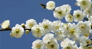 八重咲き白梅の写真素材 [FYI04635142]