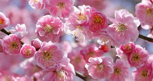 八重咲き紅梅の写真素材 [FYI04635144]