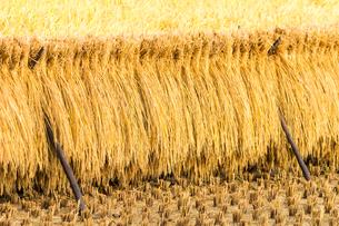 ハザ架けの田んぼの風景の写真素材 [FYI04635159]