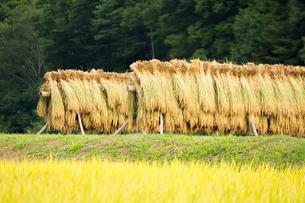 ハザ架けの田んぼの風景の写真素材 [FYI04635164]