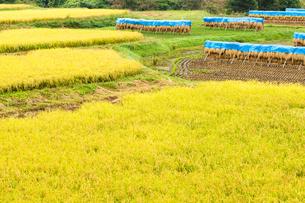 収穫期の田んぼ風景の写真素材 [FYI04635167]