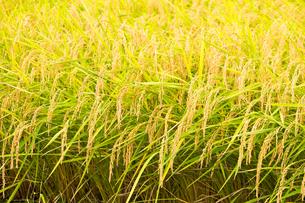 収穫前の稲穂の写真素材 [FYI04635174]