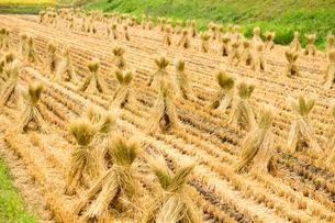稲わらを干す田んぼの写真素材 [FYI04635175]