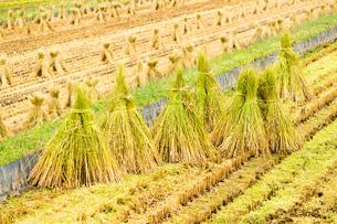稲わらを干す田んぼの写真素材 [FYI04635176]