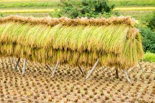 稲のハザ架けのある田んぼの写真素材 [FYI04635177]
