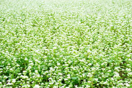 花咲くソバ畑の写真素材 [FYI04635181]