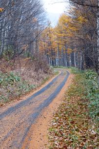 秋のカラマツの林道の写真素材 [FYI04635198]