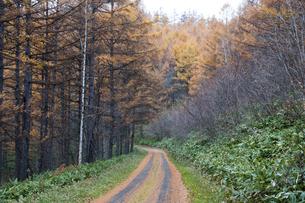 カラマツ林を通る秋の山道の写真素材 [FYI04635199]