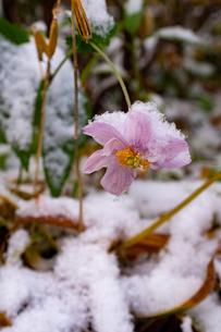 初雪が積もったピンクのシュウメイギクの写真素材 [FYI04635200]