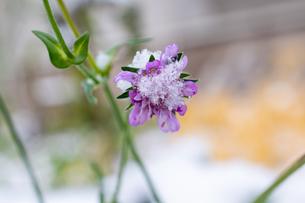 初雪が積もった紫色のスカビオサの写真素材 [FYI04635203]