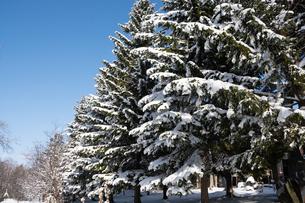冬の松林と青空の写真素材 [FYI04635205]