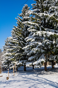 冬の松林と青空の写真素材 [FYI04635220]