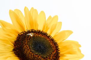 【夏】ひまわりの花に蜜を集めに来たミツバチの様子の写真素材 [FYI04635257]