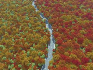 広大で鮮やかな紅葉の森を貫く一本道のイラスト素材 [FYI04635577]