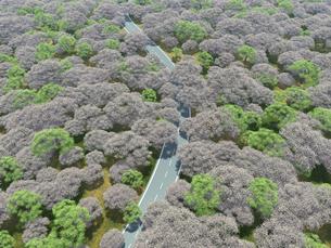 桜で埋め尽くされた広大な森を潜る一本道のイラスト素材 [FYI04635579]