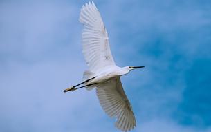 飛翔する白サギの写真素材 [FYI04635912]