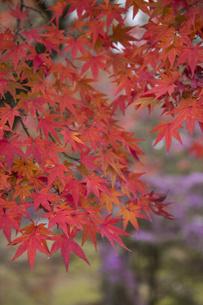 鮮やかな紅葉の写真素材 [FYI04635934]