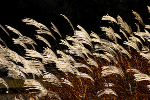 夕日に輝くススキの穂の写真素材 [FYI04636022]