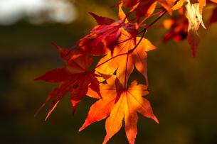 逆光の赤いモミジの葉の写真素材 [FYI04636025]