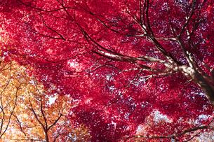 モミジの紅葉の写真素材 [FYI04638741]