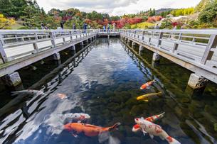 広島三景園の錦鯉の写真素材 [FYI04638790]