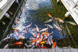 広島三景園の錦鯉の写真素材 [FYI04638793]