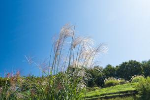 ススキ咲く武蔵丘陵森林公園の写真素材 [FYI04638854]