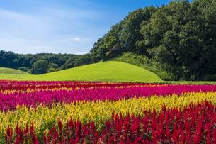 羽毛ゲイトウ咲く武蔵丘陵森林公園の写真素材 [FYI04638858]