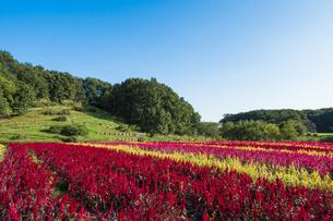 羽毛ゲイトウ咲く武蔵丘陵森林公園の写真素材 [FYI04638867]