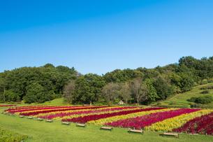 羽毛ゲイトウ咲く武蔵丘陵森林公園の写真素材 [FYI04638868]
