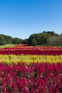 羽毛ゲイトウ咲く武蔵丘陵森林公園の写真素材 [FYI04638869]