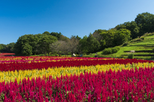 羽毛ゲイトウ咲く武蔵丘陵森林公園の写真素材 [FYI04638873]