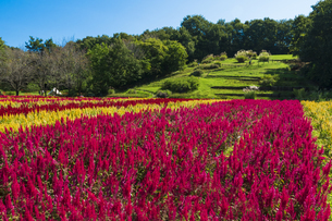 羽毛ゲイトウ咲く武蔵丘陵森林公園の写真素材 [FYI04638874]