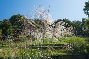 ススキ咲く武蔵丘陵森林公園の写真素材 [FYI04638876]