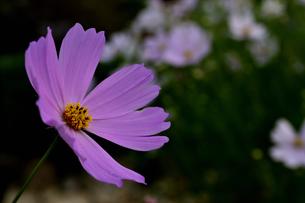 秋桜の写真素材 [FYI04639579]