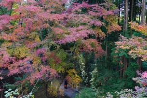 秋の水沢もみじ谷の紅葉に包まれる道を歩く観光客の写真素材 [FYI04640060]