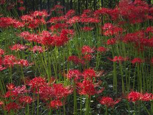 ヒガンバナの花壇の写真素材 [FYI04640622]