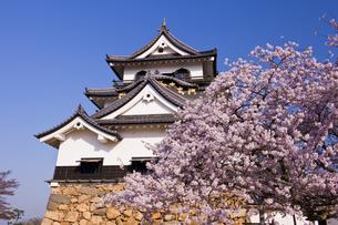 桜咲く彦根城の写真素材 [FYI04640796]