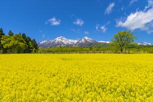 菜の花と妙高山の写真素材 [FYI04640811]