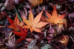 【秋】地面に落ちた楓の葉 紅葉の写真素材 [FYI04641189]