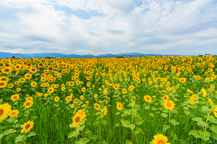 上富良野のひまわり畑の写真素材 [FYI04642098]