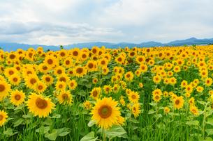 上富良野のひまわり畑の写真素材 [FYI04642101]